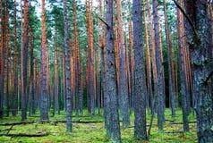 Bosque de pinos Imagen de archivo libre de regalías