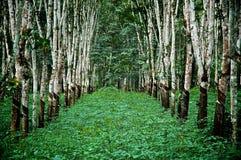 Bosque de PlannedRubber Fotos de archivo libres de regalías