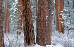 Bosque de Ponderosa en nieve Fotografía de archivo