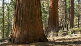 Bosque de Tuolumne de sequoias gigantes no parque nacional de yosemite fotos de stock royalty free