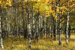Bosque del álamo temblón del otoño Imagen de archivo libre de regalías