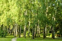 Bosque del árbol de abedul Imágenes de archivo libres de regalías
