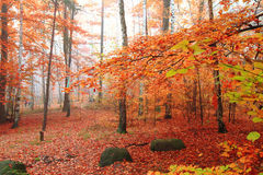 Bosque del árbol de abedul Foto de archivo