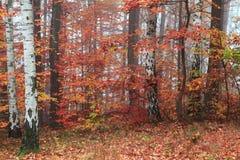 Bosque del árbol de abedul Fotografía de archivo