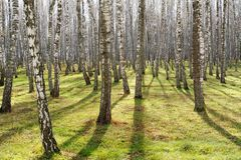 Bosque del árbol de abedul con la hierba verde Imagenes de archivo