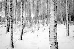 Bosque del árbol de abedul en invierno Imágenes de archivo libres de regalías