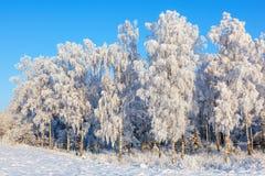 Bosque del árbol de abedul en invierno Fotografía de archivo