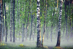 Bosque del árbol de abedul en mañana de niebla Foto de archivo libre de regalías
