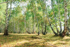 Bosque del árbol de abedul en otoño con luz del sol de la puesta del sol Fotografía de archivo libre de regalías