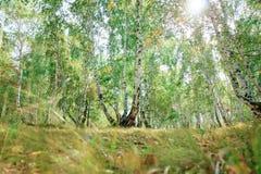 Bosque del árbol de abedul en otoño con luz del sol de la puesta del sol Imagen de archivo
