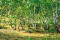 Bosque del árbol de abedul en otoño con luz del sol de la puesta del sol Fotos de archivo