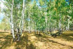 Bosque del árbol de abedul en otoño con luz del sol de la puesta del sol Imagenes de archivo