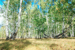 Bosque del árbol de abedul en otoño con luz del sol de la puesta del sol Imágenes de archivo libres de regalías