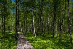 Bosque del árbol de abedul en primavera en un pantano Foto de archivo