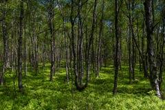 Bosque del árbol de abedul en primavera en un pantano Fotos de archivo libres de regalías