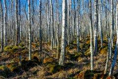 Bosque del árbol de abedul en un pantano Imágenes de archivo libres de regalías