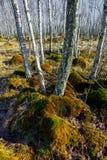 Bosque del árbol de abedul en un pantano Imagen de archivo libre de regalías
