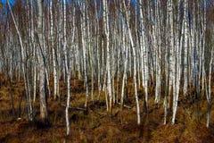 Bosque del árbol de abedul en un pantano Fotos de archivo libres de regalías