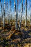 Bosque del árbol de abedul en un pantano Imagen de archivo