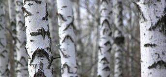 Bosque del árbol de abedul, fondo natural, birchwood Foto de archivo libre de regalías