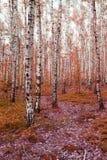 bosque del árbol de abedul del otoño Fotografía de archivo libre de regalías