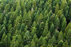 Bosque del árbol de abeto Foto de archivo