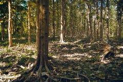 Bosque del árbol de abeto del cuento de hadas fotografía de archivo