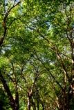 Bosque del árbol de arce Fotos de archivo libres de regalías