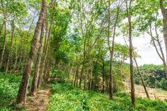 Bosque del árbol de goma Imágenes de archivo libres de regalías