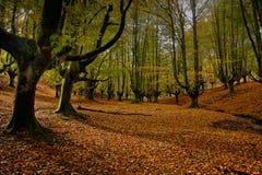 Bosque del árbol de haya en otoño fotografía de archivo
