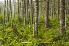 Bosque del árbol de hoja perenne del Adirondacks Foto de archivo libre de regalías