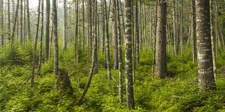 Bosque del árbol de hoja perenne del Adirondacks Imagen de archivo libre de regalías