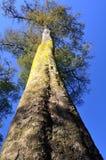 Bosque del árbol de Kahikatea, Christchurch, Nueva Zelandia Fotografía de archivo