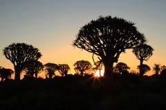 Bosque del árbol de la aljaba Imagen de archivo libre de regalías