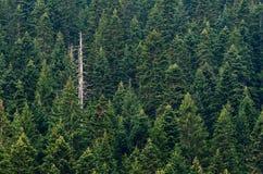 Bosque del árbol de pino Foto de archivo libre de regalías