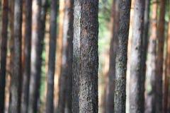 Bosque del árbol de pino Imágenes de archivo libres de regalías