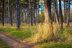 Bosque del árbol de pino Fotos de archivo