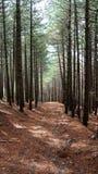 Bosque del árbol de pino Imagen de archivo