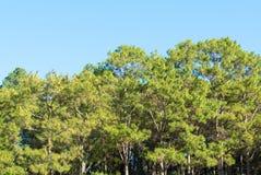 Bosque del árbol de pino Fotos de archivo libres de regalías