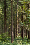 Bosque del árbol de pino Imagen de archivo libre de regalías