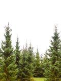 Bosque del árbol de pino aislado en blanco Imagen de archivo