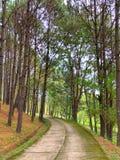 Bosque del árbol de pino con el piso de la calzada del cemento fotos de archivo libres de regalías