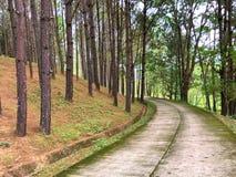 Bosque del árbol de pino con el piso de la calzada del cemento fotografía de archivo