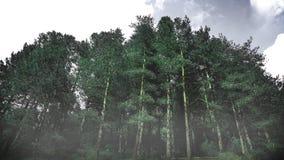 Bosque del árbol de pino de Coniferious en el invierno contra un cielo nublado espacio vacío de la copia Imagenes de archivo