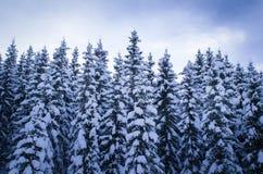 Bosque del árbol de pino cubierto con nieve Foto de archivo