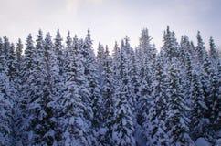 Bosque del árbol de pino cubierto con nieve Foto de archivo libre de regalías