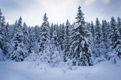 Bosque del árbol de pino cubierto con nieve Fotografía de archivo
