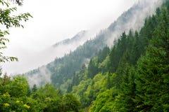 Bosque del árbol de pino de la cubierta de la niebla de la mañana Fotos de archivo libres de regalías