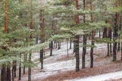 Bosque del árbol de pino del invierno Imágenes de archivo libres de regalías
