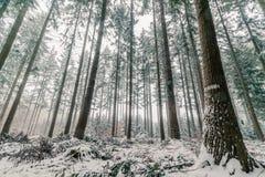 Bosque del árbol de pino en Escandinavia Foto de archivo libre de regalías